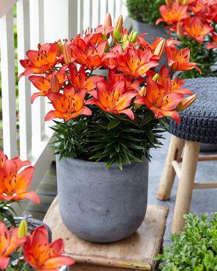 Ruukkulilja Tangerine Joy