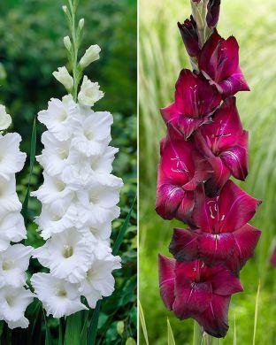 Gladiolus-lajitelma