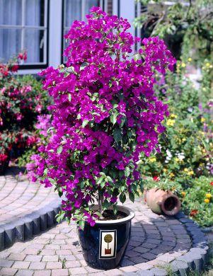 Ihmeköynnös lila
