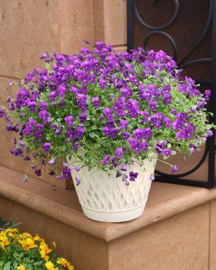 Amppeliorvokki violetti