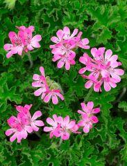 Sitruunapelargoni Pink Capitatum