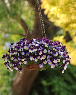 Orvokkiamppeli Violet Wing