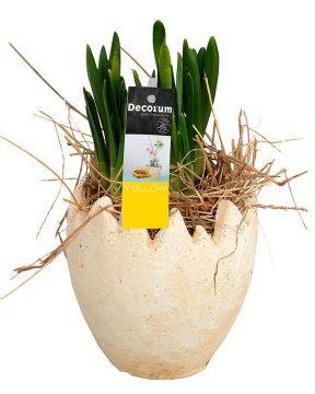 Narsissit munankuoressa