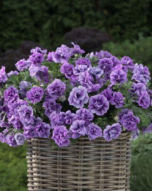 Petunia Double Violet Vein