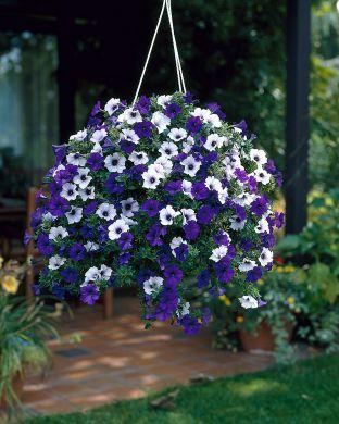 Petunia sinivalko mix
