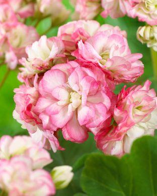 Ruusunnuppupelargoni Apple Blossom
