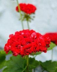 Ruusunnuppupelargoni Red Rosebud