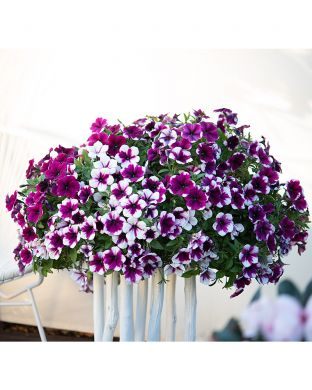 Petunia Purple Touch