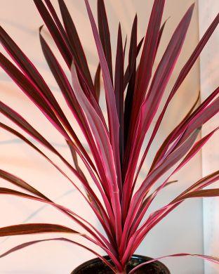 Viherliljapuu Pink Passion