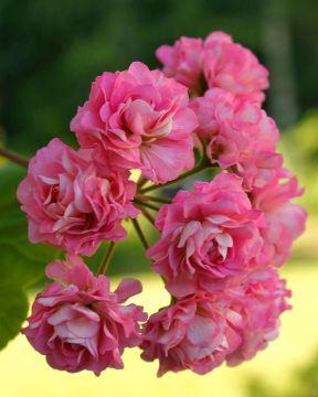 Ruusunnuppupelargoni Prinsesse Filippa