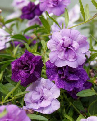 Kerrattu japaninkello Blue Petticoat