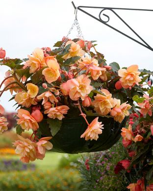 Tuoksubegonia Just Peachy