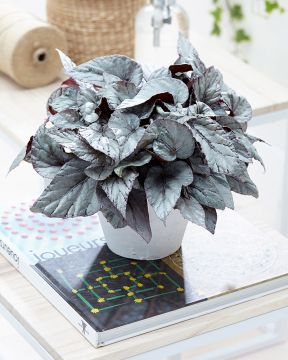 Begonia Arctic Breeze