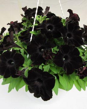 Petunia Black Ray