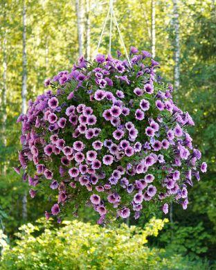 Petunia Purple Vein