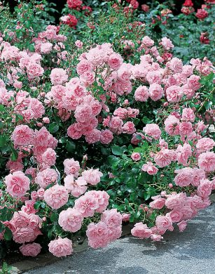 Viherpeukalot-ruusu 2007