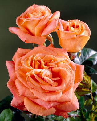 Viherpeukalot-ruusu 2010