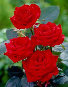 Ruusu Hanne