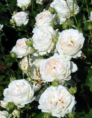 Ruusu Aspirin Rose