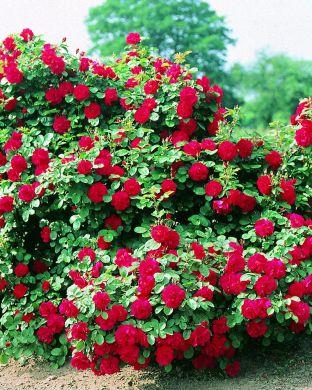 Ruusu Hansaland