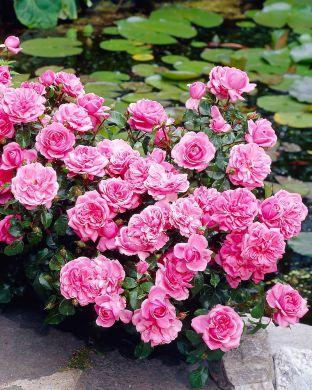 Ruusu Berleburg
