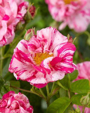 Ruusu Rosa Mundi