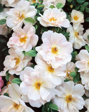 Ruusu Nevada