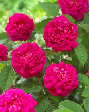 Ruusu Rose de Rescht