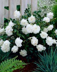 Peittoruusu White Fairy