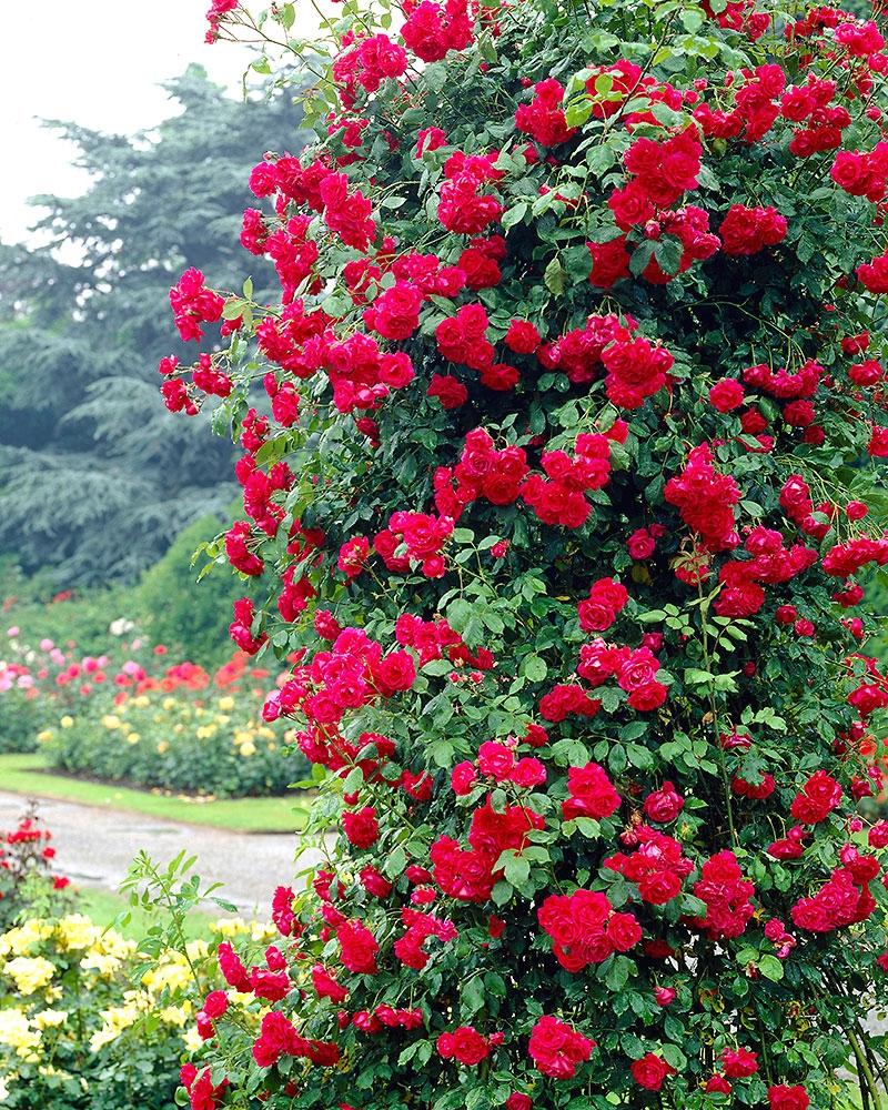 Ruusu Istutus
