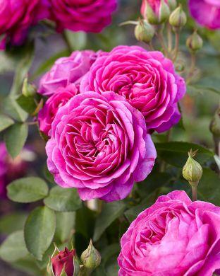 Ruusu Heidi Klum