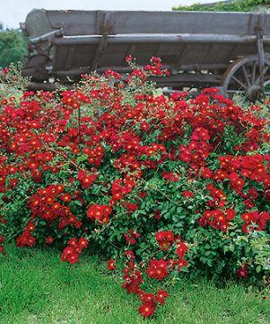 Ruusu Sommerabend