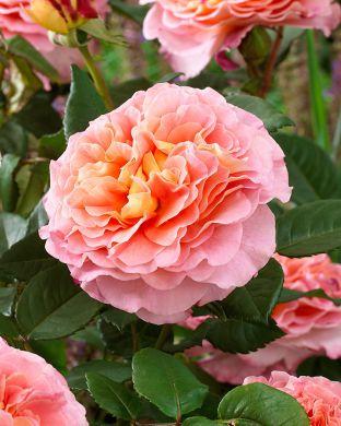 Viherpeukalot-ruusu 2018
