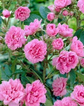Neilikkaruusu Pink Grootendorst