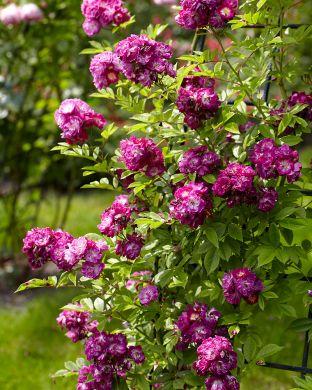 Viherpeukalot-ruusu 2020