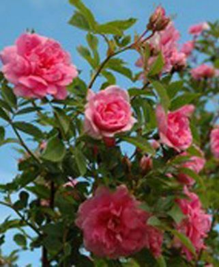 Ruusu Ilo