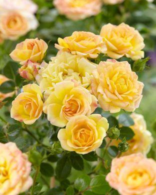 Peittoruusu Yellow Fairy