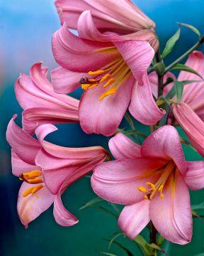 Kuningaslilja Pink Perfection