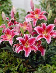 Oriental-lilja Stargazer