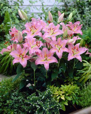 Oriental-lilja Josephine