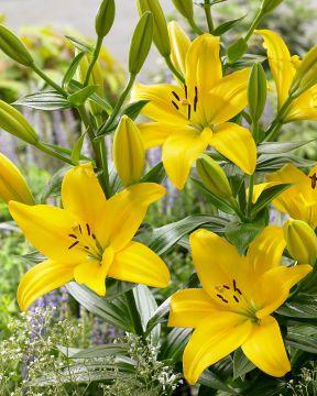Lilja LA-hybridi Pavia