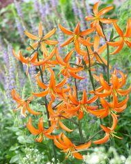 Marhanlilja Orange Marmalade