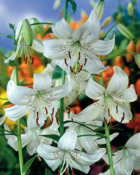 Tiikerililja White Twinkle
