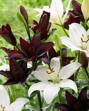 Samettinen -liljalajitelma