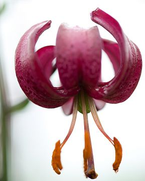 Varjolilja purppura