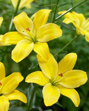 Siitepölytön värililja Yellow Cocotte
