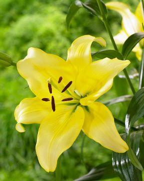 Värililja Yellow Power
