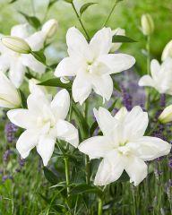 Kerrattu Oriental-lilja Lotus Pure