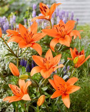 Värililja Orange Summer
