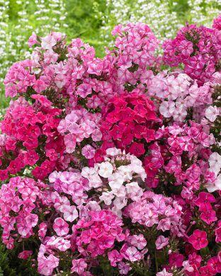 Syysleimu Freckle Pink